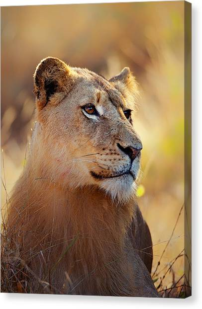Carnivore Canvas Print - Lioness Portrait Lying In Grass by Johan Swanepoel