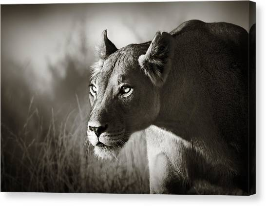 Cat Canvas Print - Lioness Stalking by Johan Swanepoel