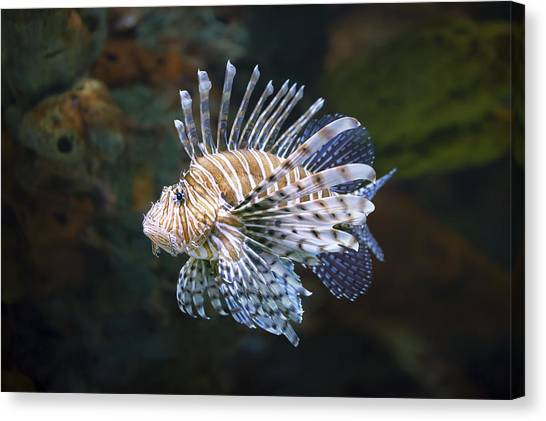 Saltwater Life Canvas Print - Lionfish - Gatlinburg Tn Ripleys Aquarium by Dave Allen