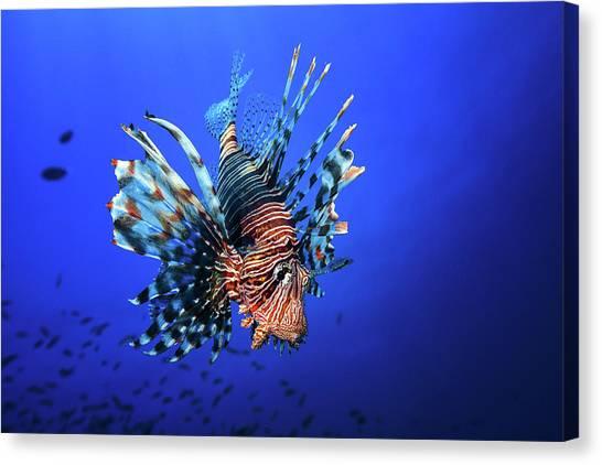 Underwater Canvas Print - Lionfish by Barathieu Gabriel