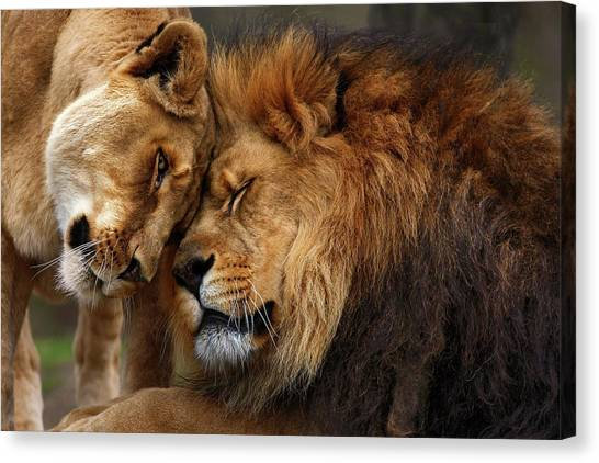 Lions Canvas Print - Lions In Love by Emmanuel Panagiotakis