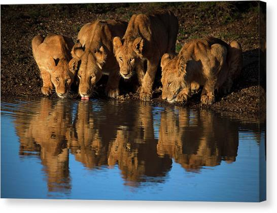 Big East Canvas Print - Lions Of Mara by Mario Moreno