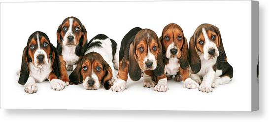 Litter Of Basset Hound Puppies Canvas Print