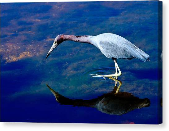 Little Blue Heron Fishing Canvas Print