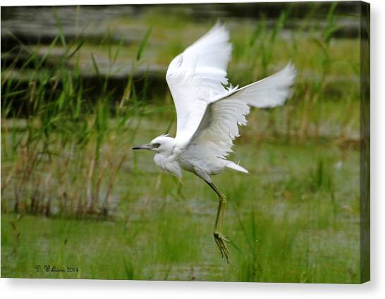 Little Blue Heron In Flight Canvas Print