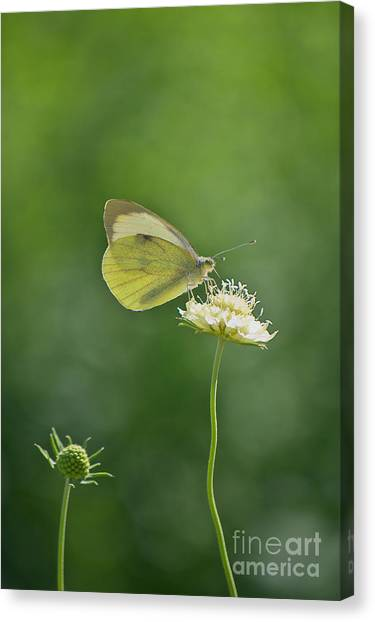 Little Butterfly Canvas Print by Angela Doelling AD DESIGN Photo and PhotoArt