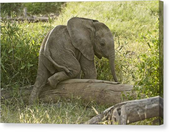 Little Elephant Big Log Canvas Print