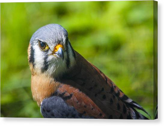Little Falcon Canvas Print