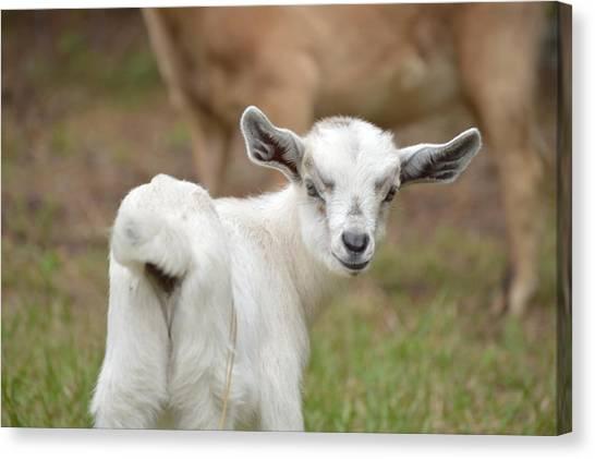 Goats Canvas Print - Little Goat by Doug Grey