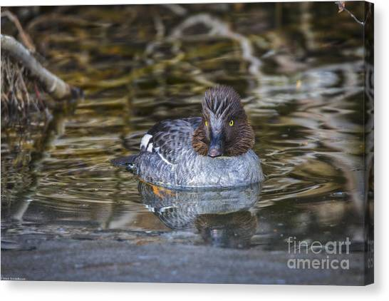 Goldeneye Canvas Print - Little Goldeneye by Mitch Shindelbower