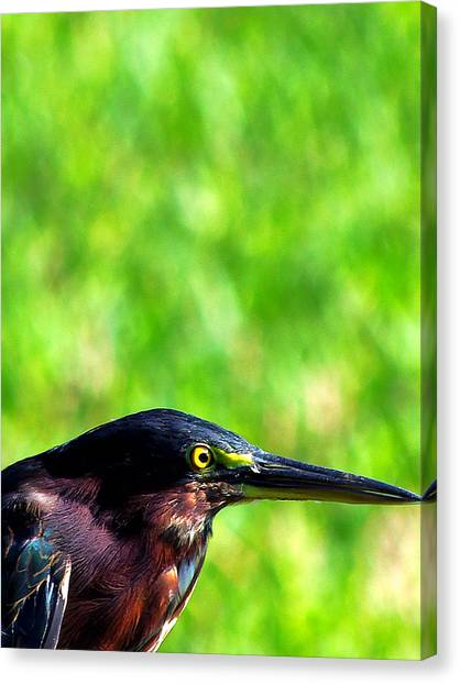 Little Green Heron 006 Canvas Print by Chris Mercer