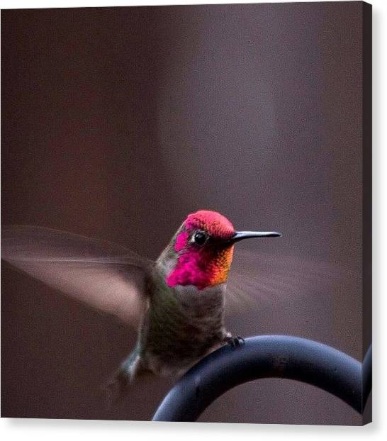Hummingbirds Canvas Print - Little Guy Again Defending His by Patty Warwick