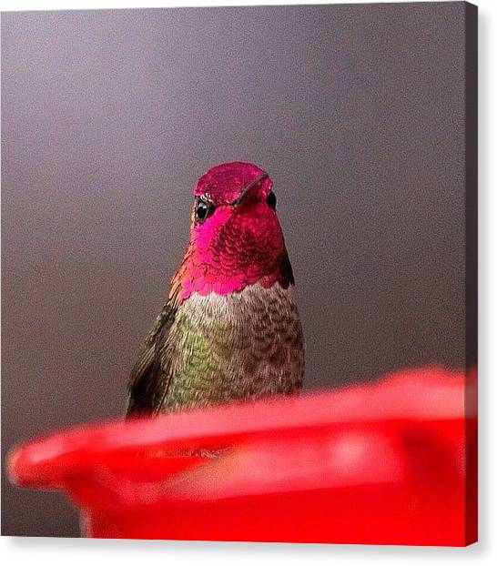 Hummingbirds Canvas Print - Little Guy Checking Me Out. #birdfreaks by Patty Warwick