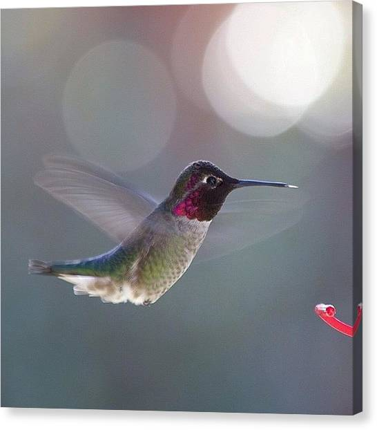 Hummingbirds Canvas Print - Little Guy Enjoying The Warm Weather by Patty Warwick