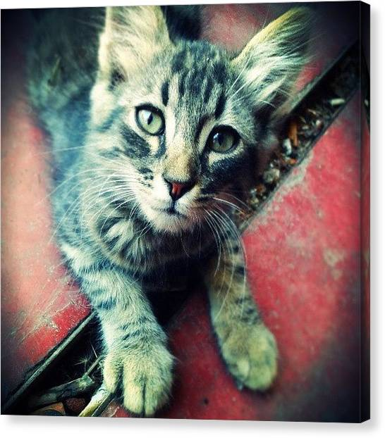 Kittens Canvas Print - Little Intrepid Cat! :) by Emanuela Carratoni