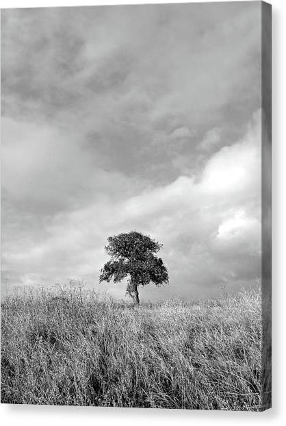 Little Lone Oak Tree Canvas Print