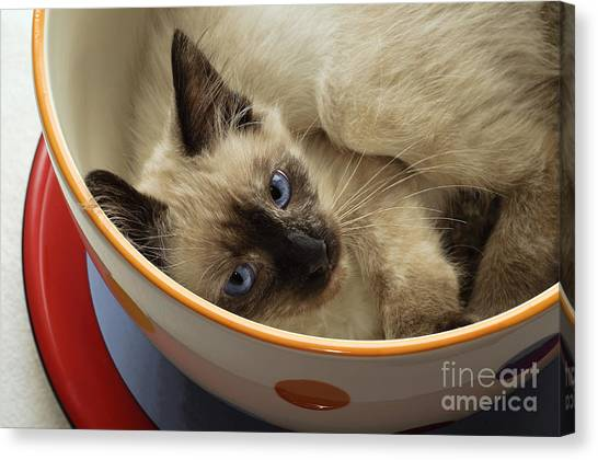 Andee Design Felines Canvas Print - Little Miss Blue Eyes by Andee Design