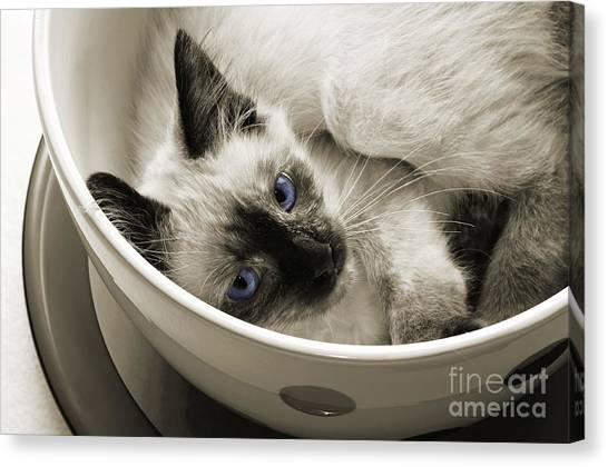 Andee Design Felines Canvas Print - Little Miss Blue Eyes B W by Andee Design