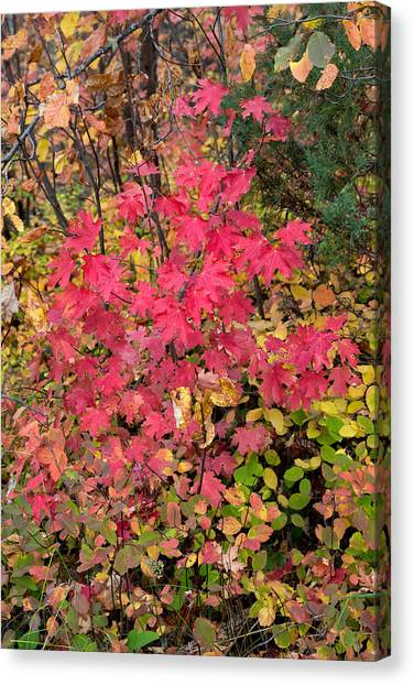Teton National Forest Canvas Print - Little Red Maple by Kathleen Bishop