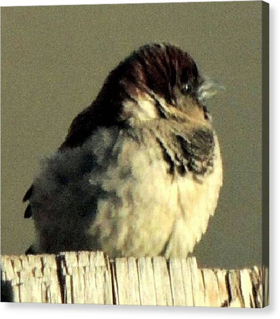Foul Canvas Print - Little Sparrow by Kelli Stowe