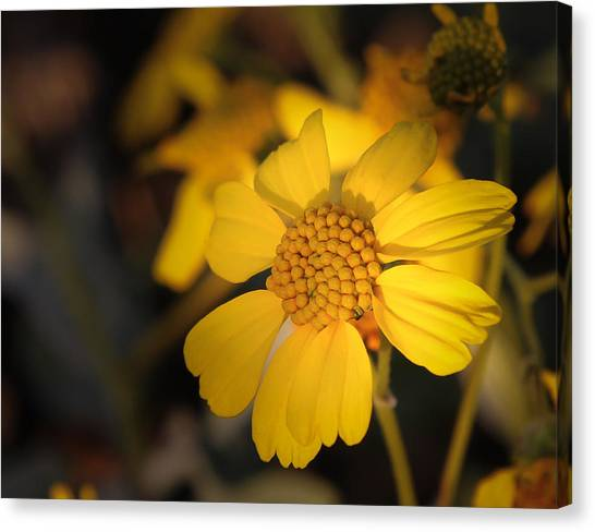 little Sunshine Canvas Print
