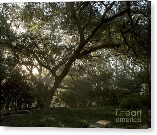 Live Oak Light Streaming Through Fog Canvas Print by Kelly Morvant