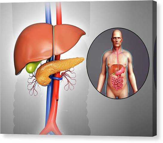Liver And Pancreas Anatomy Canvas Print by Pixologicstudio/science Photo Library