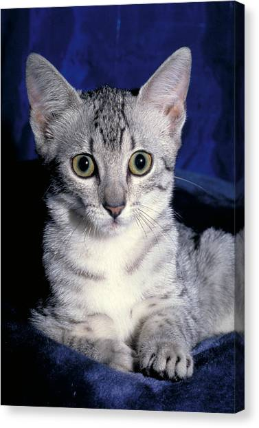 Egyptian Maus Canvas Print - Liver Egyptian Mau Cat by Jeanne White