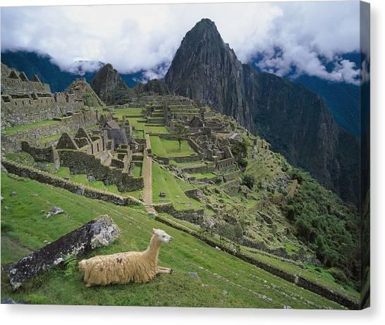 Llamas Canvas Print - Llama At Machu Picchus Ancient Ruins by Chris Caldicott