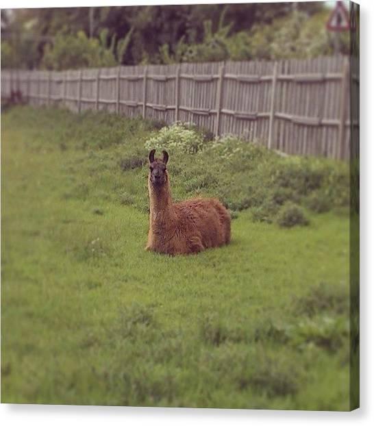 Llamas Canvas Print - Llama #llama #grass #green #brown #grass by Maxx Parker
