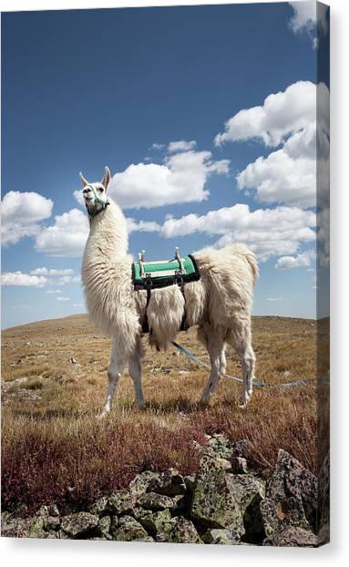 Llamas Canvas Print - Llama Portrait by Ryan Heffernan