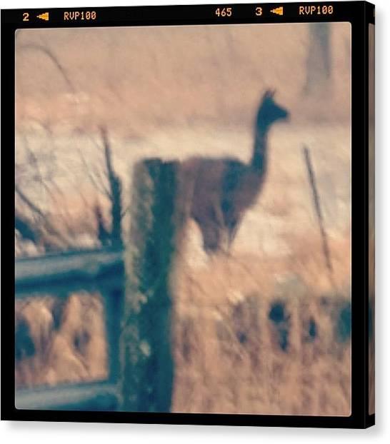 Llamas Canvas Print - #llama Revisited  #icanimals #farmlife by Lisa Pearlman