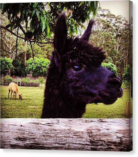 Llamas Canvas Print - Llamas Are My Favourite Farm Animal And by Lana Houlihan