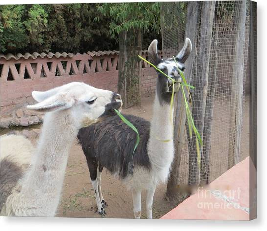 Llamas In Peru Canvas Print