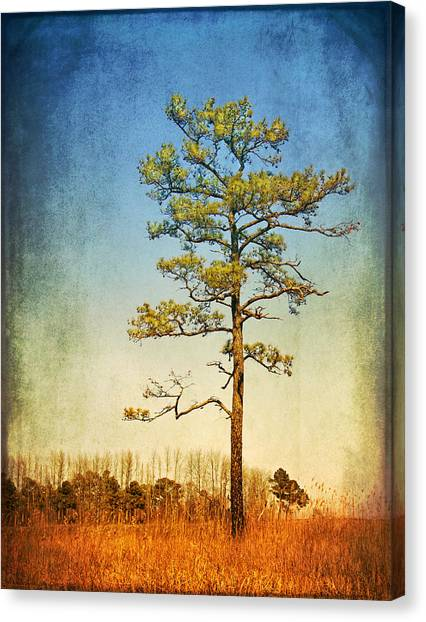 Loblolly Pine Along The Chesapeake Canvas Print