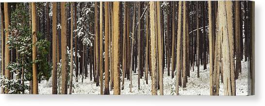 Wy Canvas Print - Lodgepole Pines And Snow Grand Teton by Panoramic Images