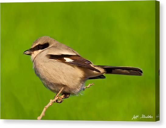 Loggerhead Shrike Canvas Print