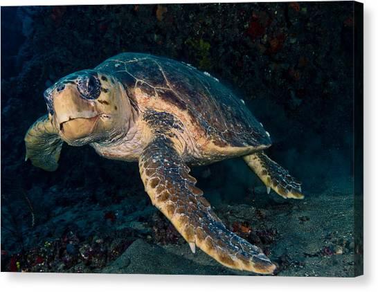 Loggerhead Turtle Under Ledge Canvas Print
