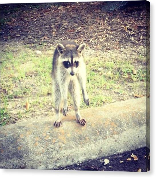 Raccoons Canvas Print - Lol This Guy Was Outside My Apartment by Brittany B