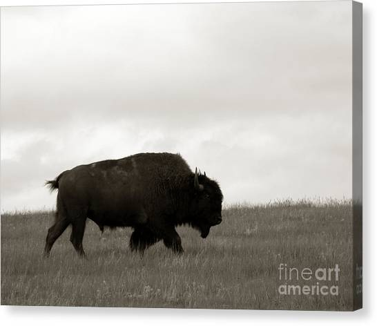 Bison Canvas Print - Lone Bison by Olivier Le Queinec