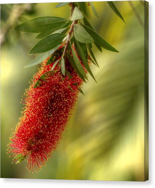 Lone Bottlebrush Canvas Print