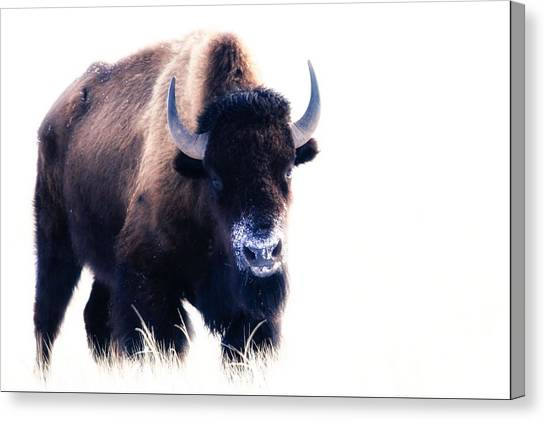 Lone Bull Canvas Print
