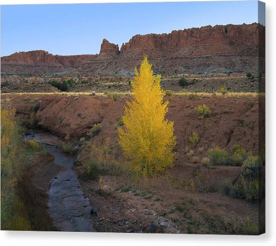 Lone Cottonwood Canvas Print