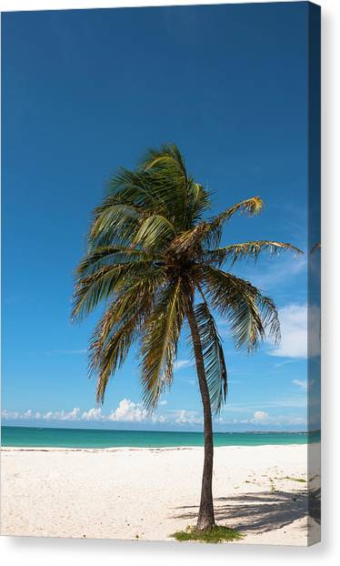 Lone Palm Tree, Palm Beach, Aruba Canvas Print