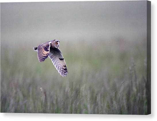 Long-eared Owl Canvas Print