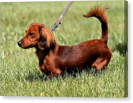 Long Haired Dachshund Canvas Print