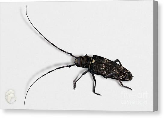 Long-hornded Wood Boring Beetle Monochamus Sartor - Coleoptere Monochame Tailleur - Canvas Print