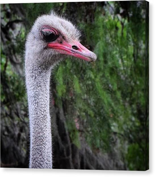Ostriches Canvas Print - Long Neck by David Lopez