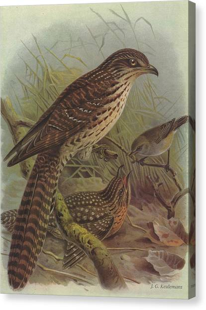 Cuckoos Canvas Print - Long Tailed Cuckoo And Grey Warbler by Dreyer Wildlife Print Collections