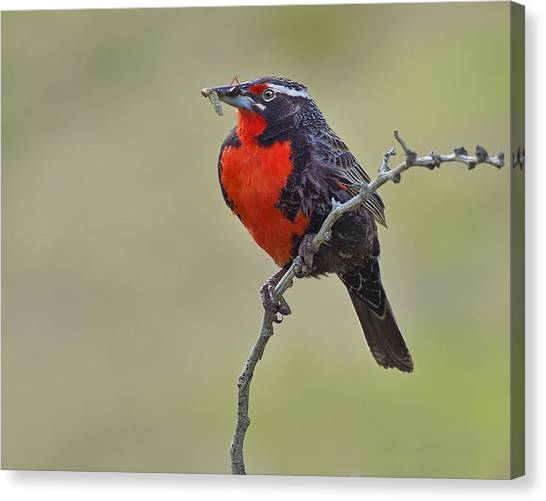 Meadowlarks Canvas Print - Long-tailed Meadowlark by Tony Beck